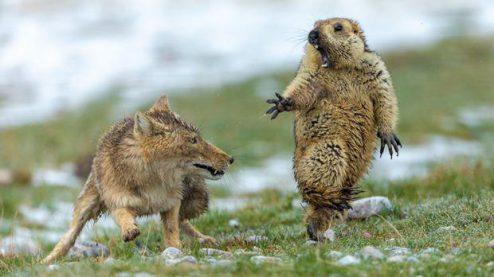 شکار موش خرما توسط روباه