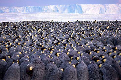 پنگوئن های سر در گریبان