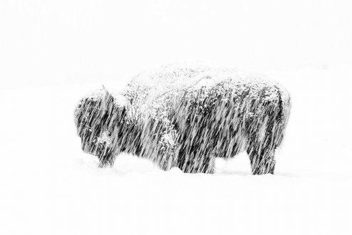 گاومیش آمریکایی در برف