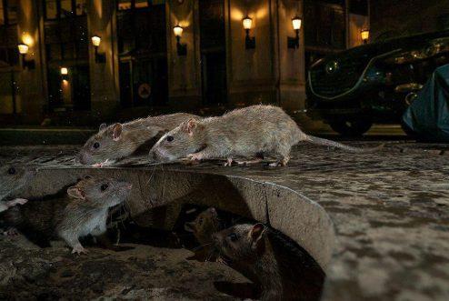 موش های منهتن
